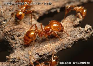 akakami_komatsu1s.jpg