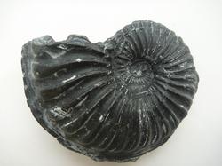 化石かレプリカか?2