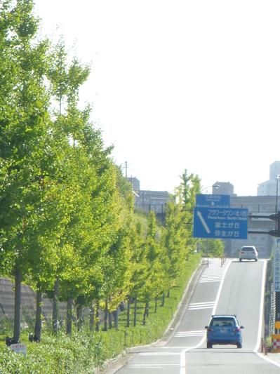 神戸三田のイチョウ