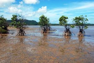 11 higata mangrove.jpg
