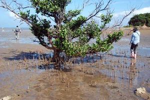 12 mangrove mayapushiki.jpg