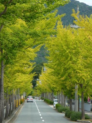 神戸市北区のイチョウ並木