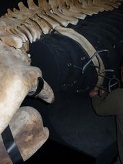大きな肋骨!!