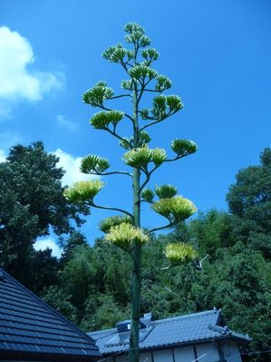 agave1.jpg
