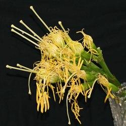 agave_female.JPG