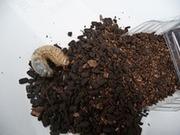 カブトムシののサムネール画像