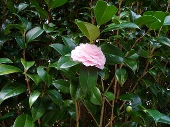 八重に咲くヤブツバキ
