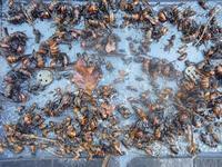 スズメバチの捕獲