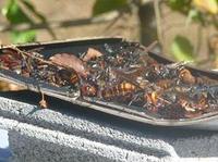 スズメバチの捕獲2のサムネール画像