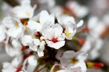 花はサクラ