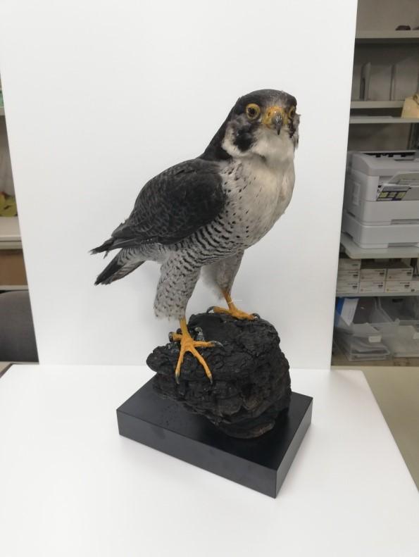 https://www.hitohaku.jp/exhibition/planning/birds-specimen2021_fig1.jpg