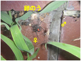 red-back_spider2.jpg