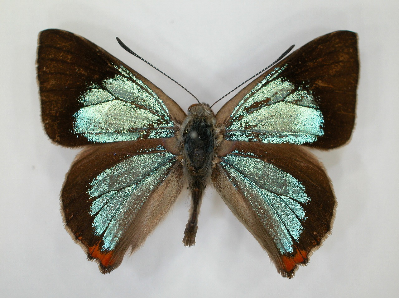 https://www.hitohaku.jp/material/l-material/butterfly-wing/5-lycaenidae/B1-271933_A.jpg