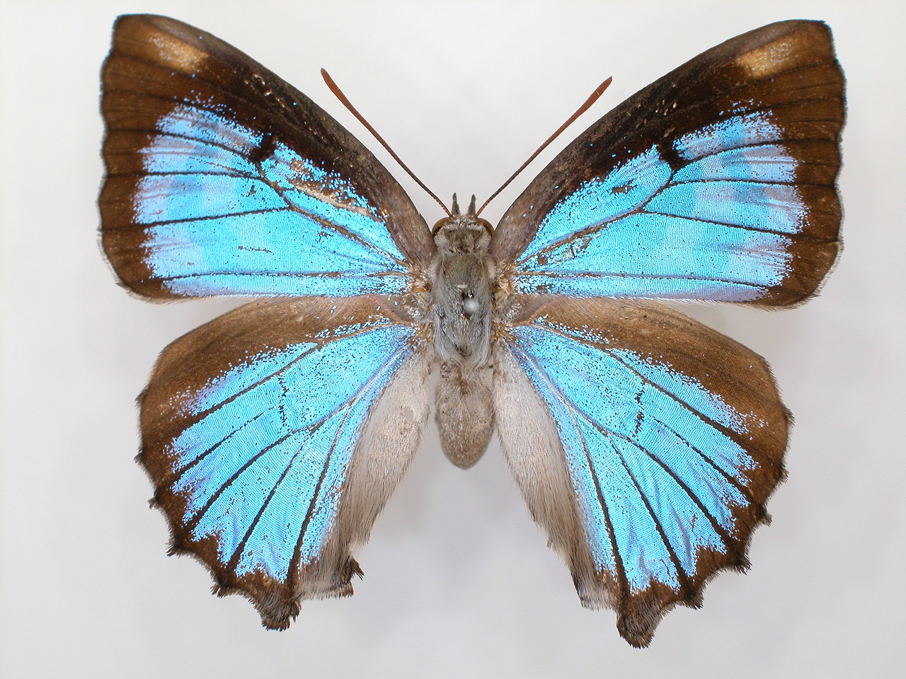 https://www.hitohaku.jp/material/l-material/butterfly-wing/5-lycaenidae/B1-272073_A.jpg