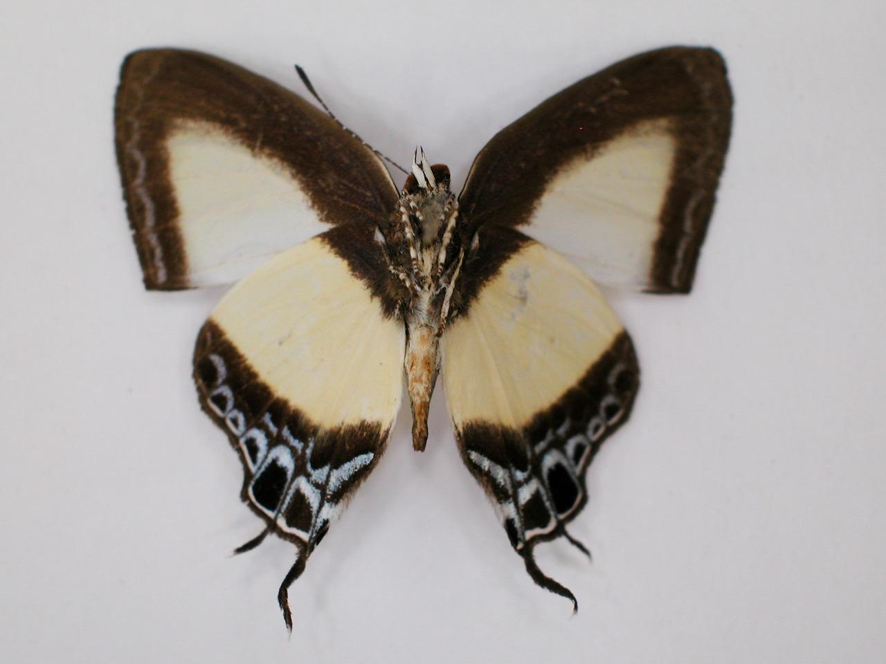 https://www.hitohaku.jp/material/l-material/butterfly-wing/5-lycaenidae/B1-272288_B.jpg