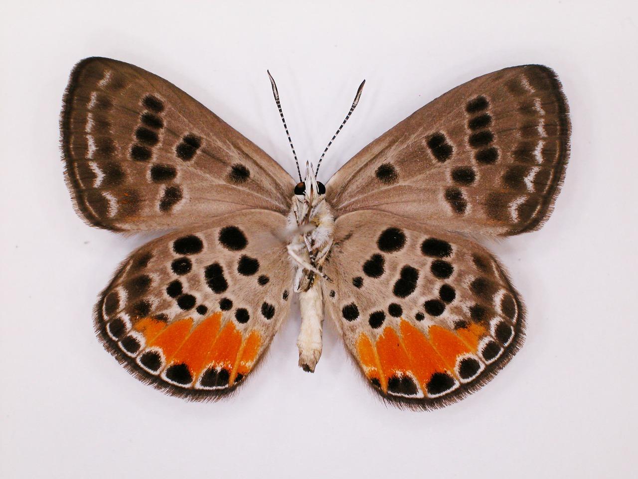 https://www.hitohaku.jp/material/l-material/butterfly-wing/5-lycaenidae/B1-272323_B.jpg