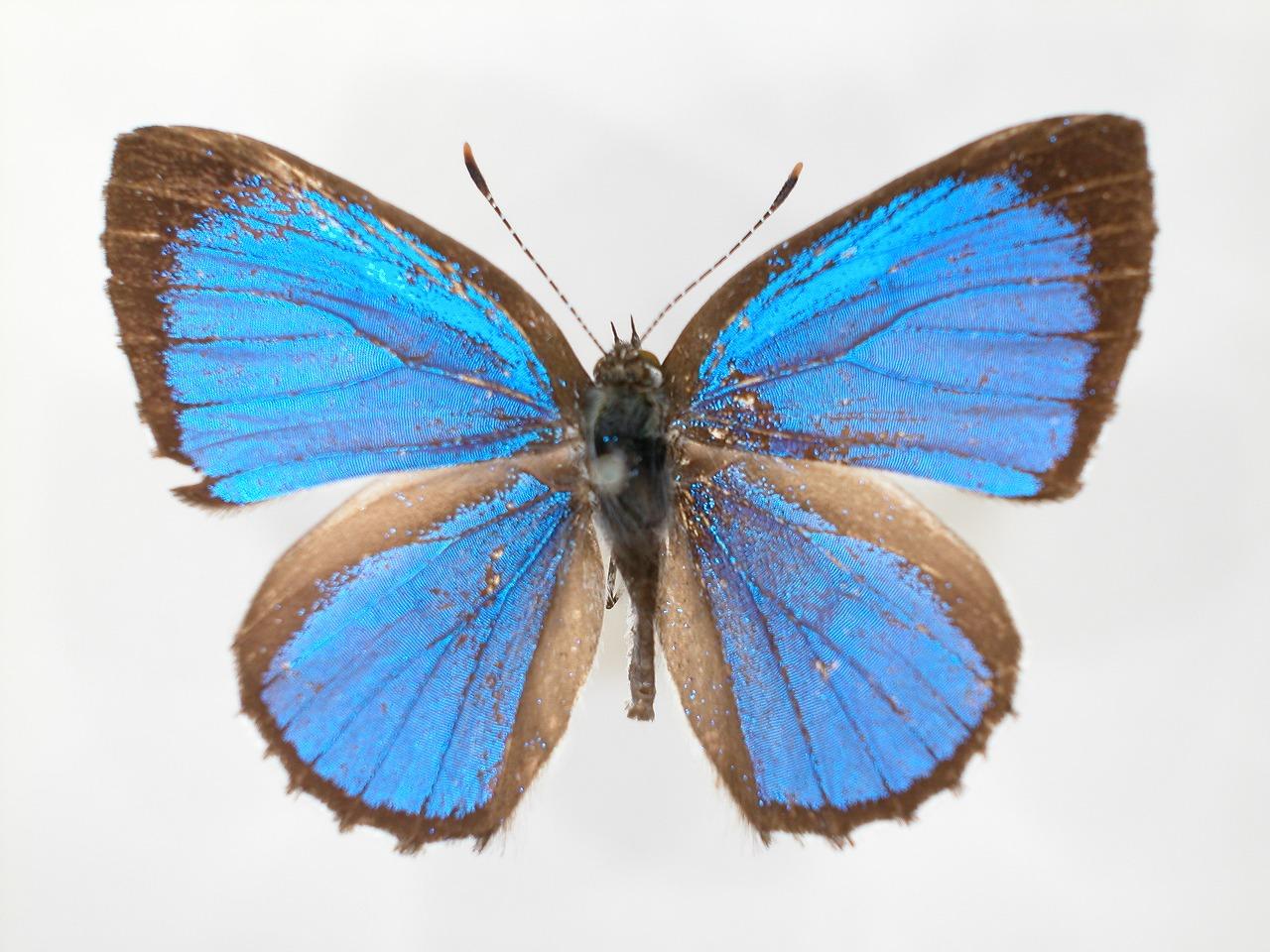 https://www.hitohaku.jp/material/l-material/butterfly-wing/5-lycaenidae/B1-273183_A.jpg