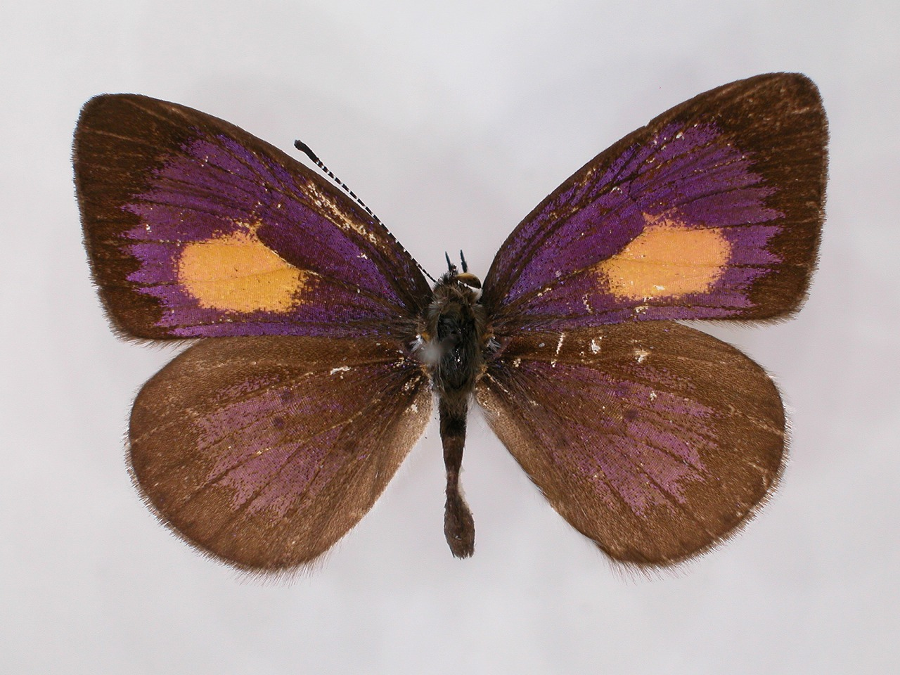 https://www.hitohaku.jp/material/l-material/butterfly-wing/5-lycaenidae/B1-273349_A.jpg