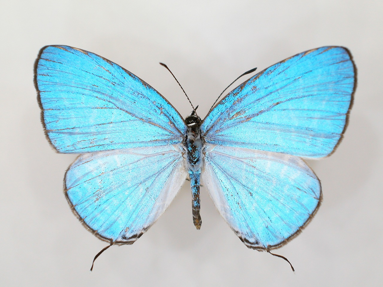 https://www.hitohaku.jp/material/l-material/butterfly-wing/5-lycaenidae/B1-273487_A.jpg