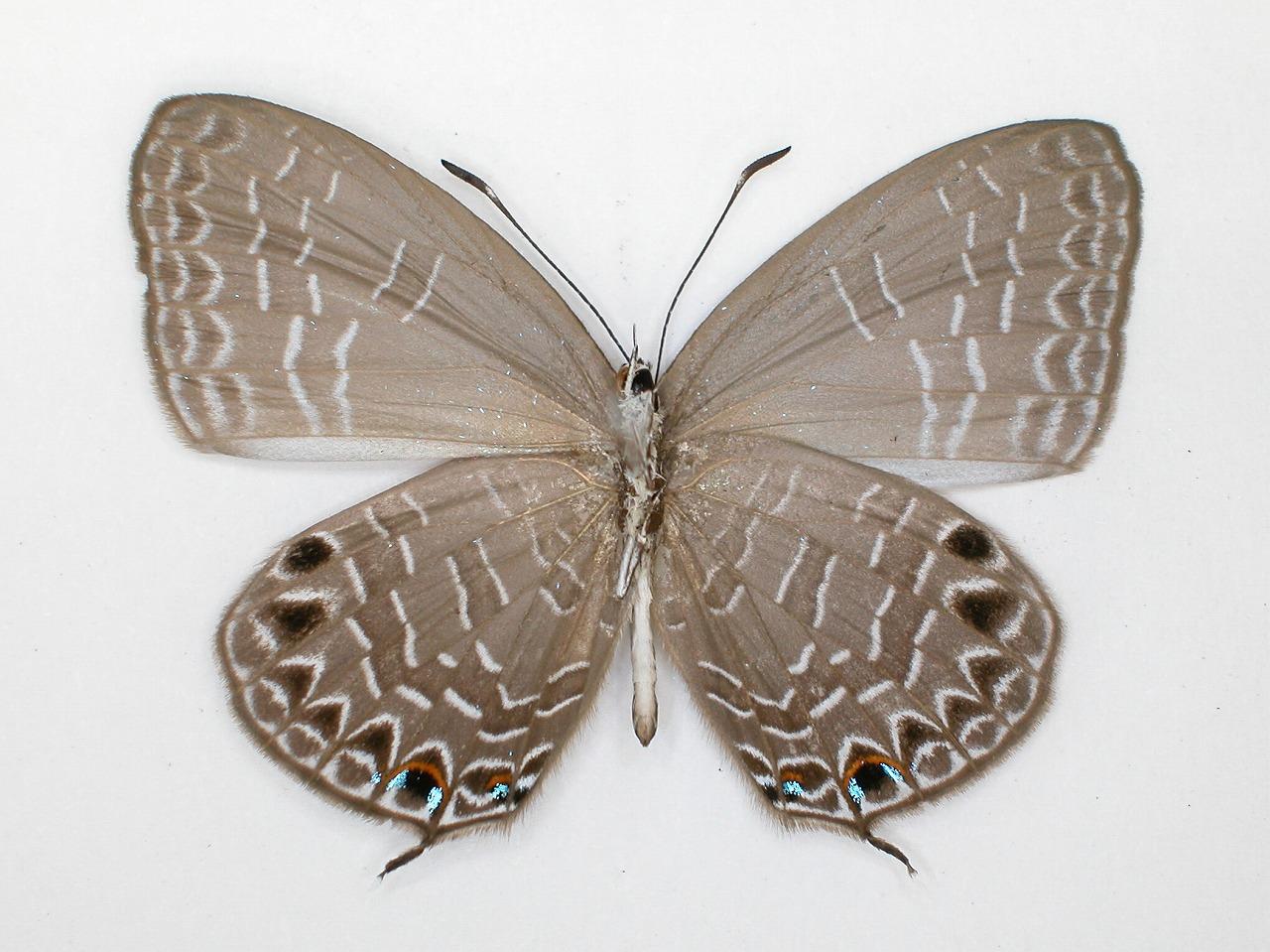 https://www.hitohaku.jp/material/l-material/butterfly-wing/5-lycaenidae/B1-273500_B.jpg
