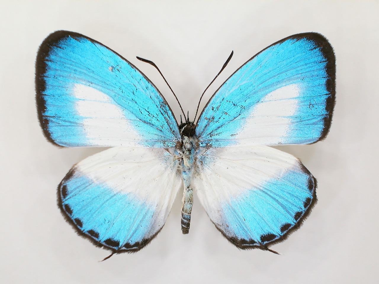 https://www.hitohaku.jp/material/l-material/butterfly-wing/5-lycaenidae/B1-273504_A.jpg