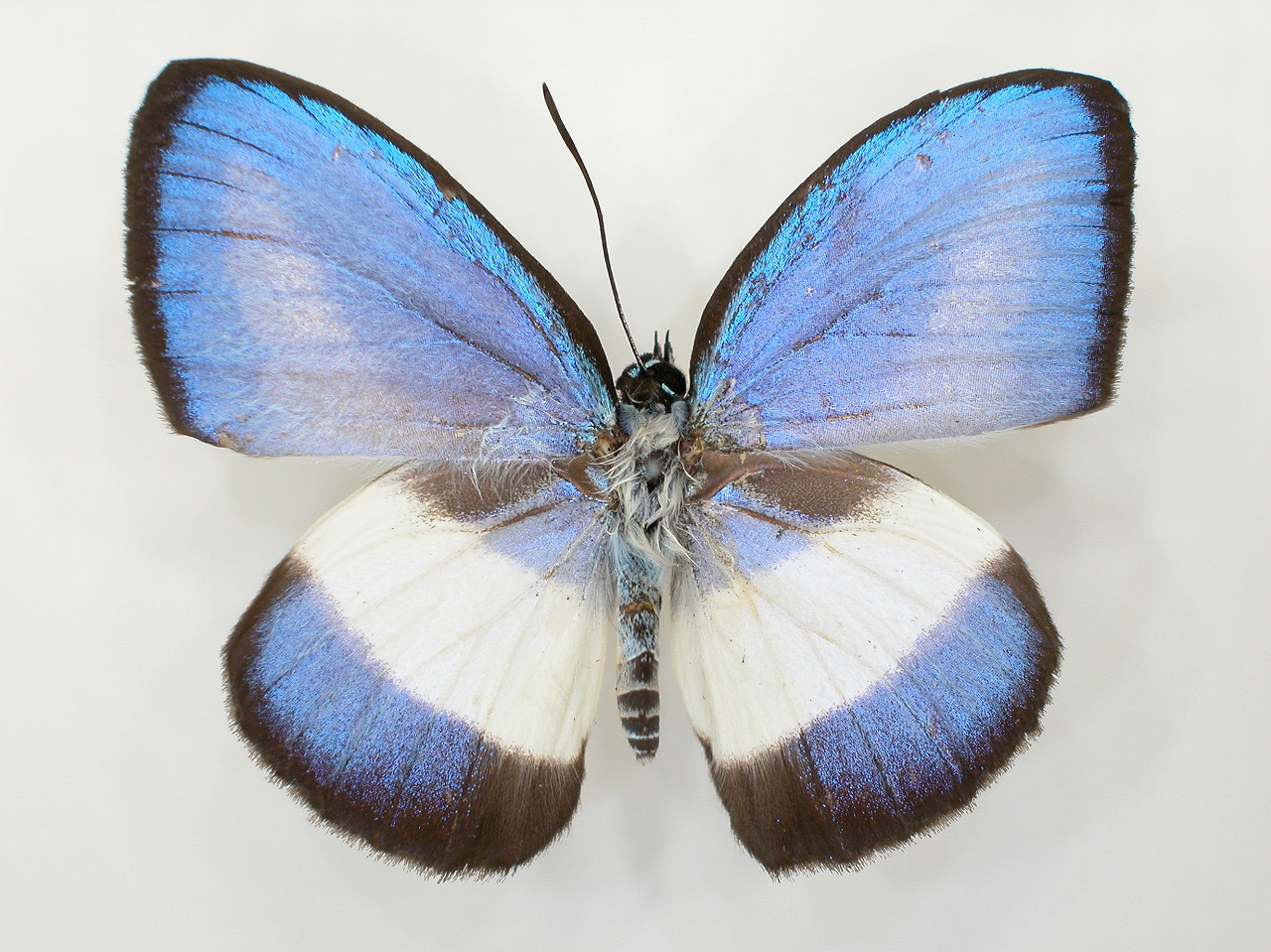 https://www.hitohaku.jp/material/l-material/butterfly-wing/5-lycaenidae/B1-273536_A.jpg