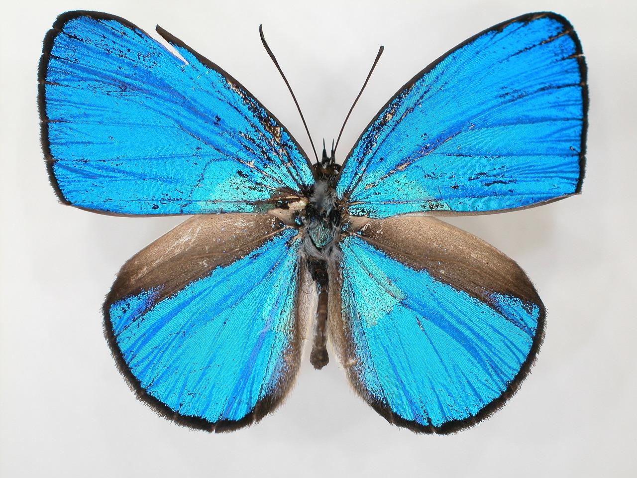 https://www.hitohaku.jp/material/l-material/butterfly-wing/5-lycaenidae/B1-273589_A.jpg
