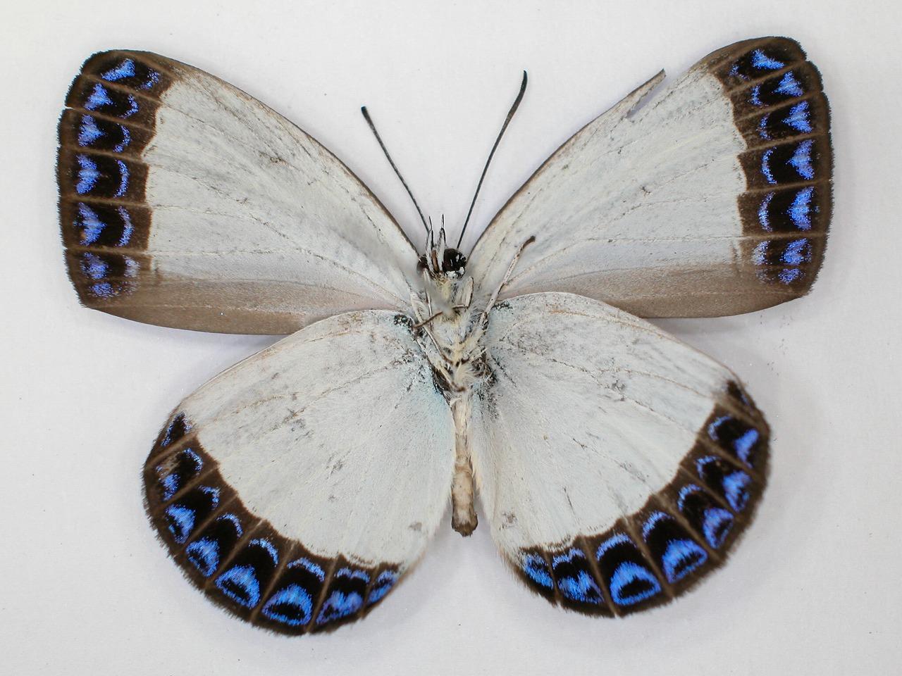 https://www.hitohaku.jp/material/l-material/butterfly-wing/5-lycaenidae/B1-273589_B.jpg