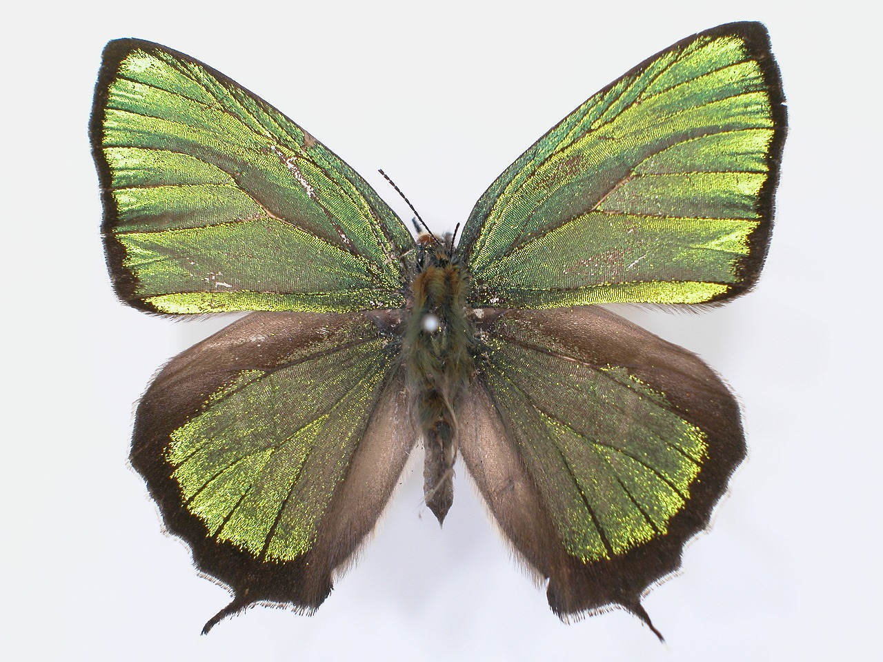 https://www.hitohaku.jp/material/l-material/butterfly-wing/5-lycaenidae/B1-637539_A.jpg