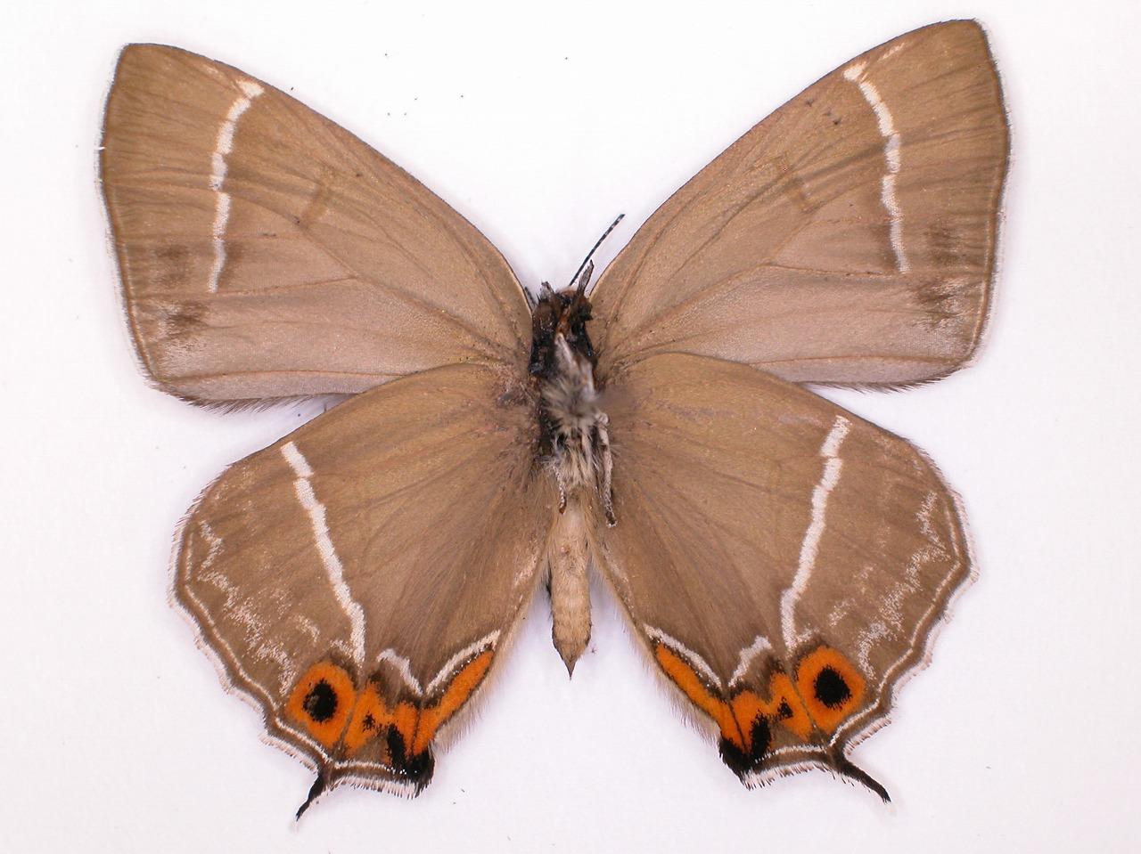 https://www.hitohaku.jp/material/l-material/butterfly-wing/5-lycaenidae/B1-637539_B.jpg