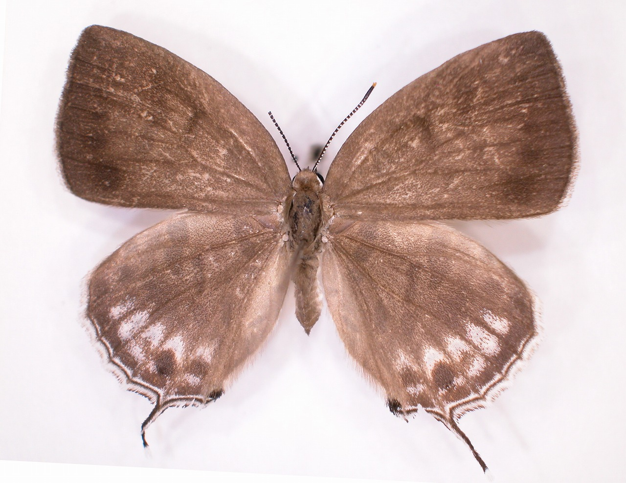 https://www.hitohaku.jp/material/l-material/butterfly-wing/5-lycaenidae/B1-637682_A.jpg
