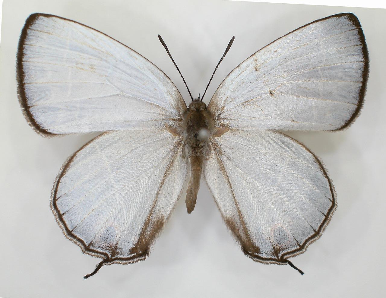 https://www.hitohaku.jp/material/l-material/butterfly-wing/5-lycaenidae/B1-637722_A.jpg