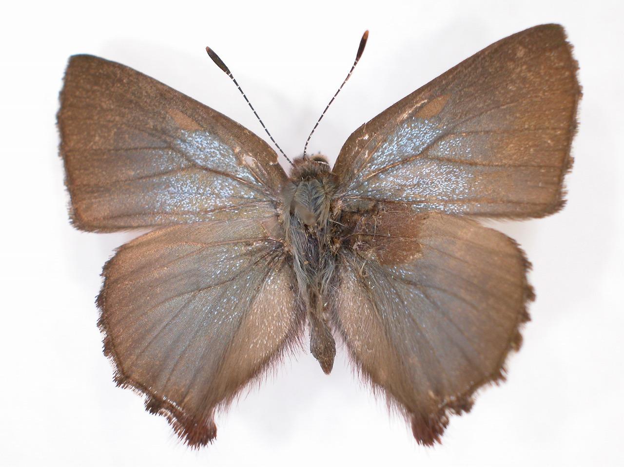 https://www.hitohaku.jp/material/l-material/butterfly-wing/5-lycaenidae/B1-637727_A.jpg