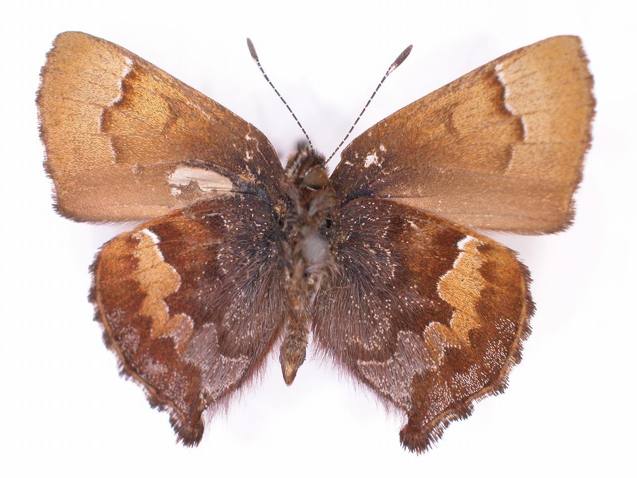 https://www.hitohaku.jp/material/l-material/butterfly-wing/5-lycaenidae/B1-637727_B.jpg