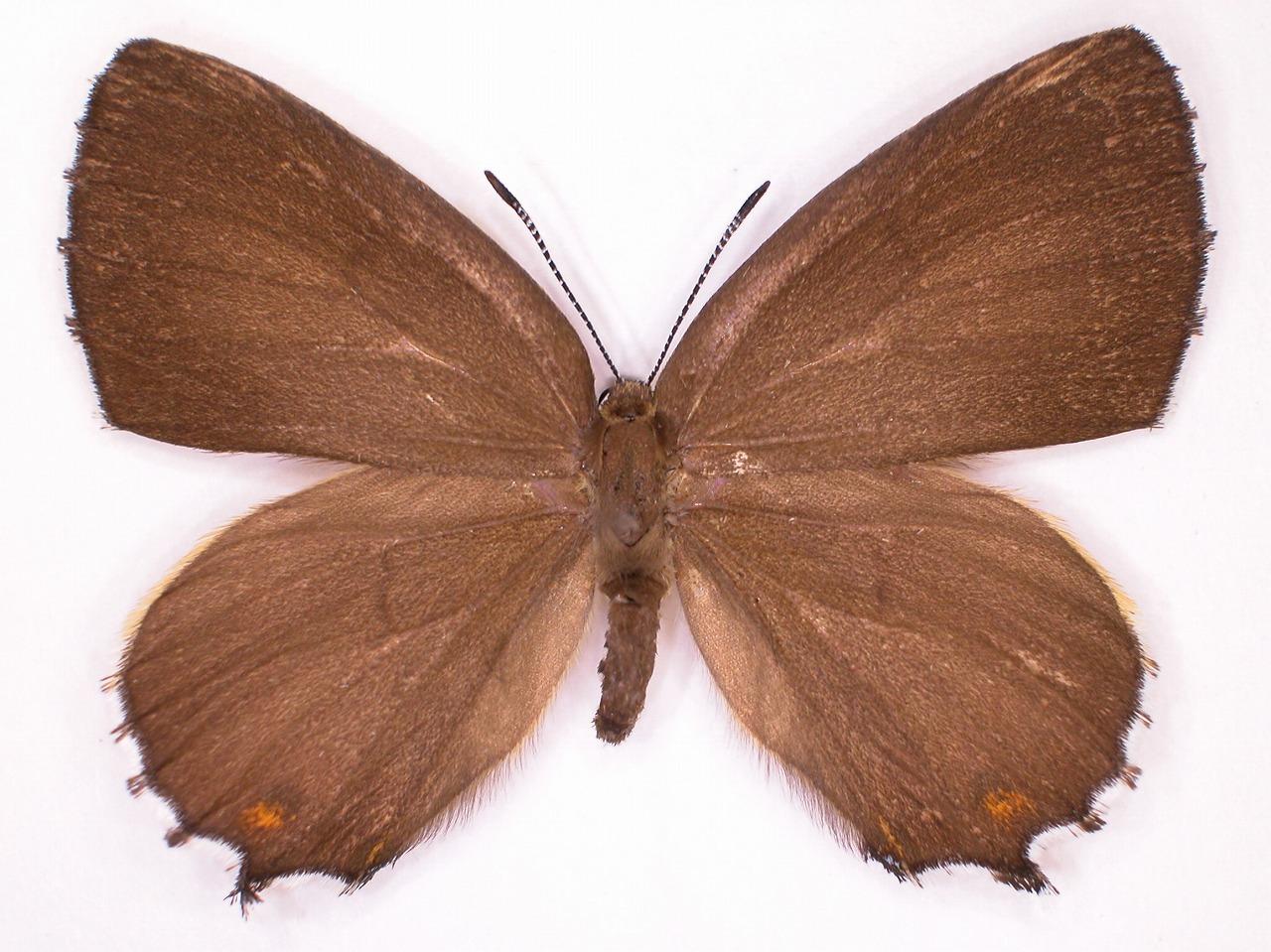https://www.hitohaku.jp/material/l-material/butterfly-wing/5-lycaenidae/B1-637770_A.jpg