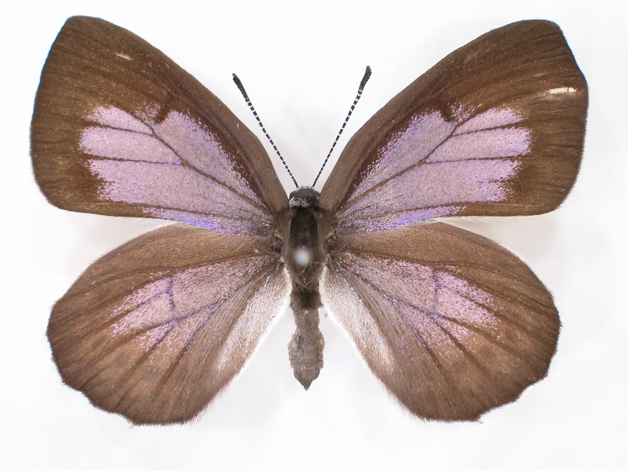 https://www.hitohaku.jp/material/l-material/butterfly-wing/5-lycaenidae/B1-637834_A.jpg