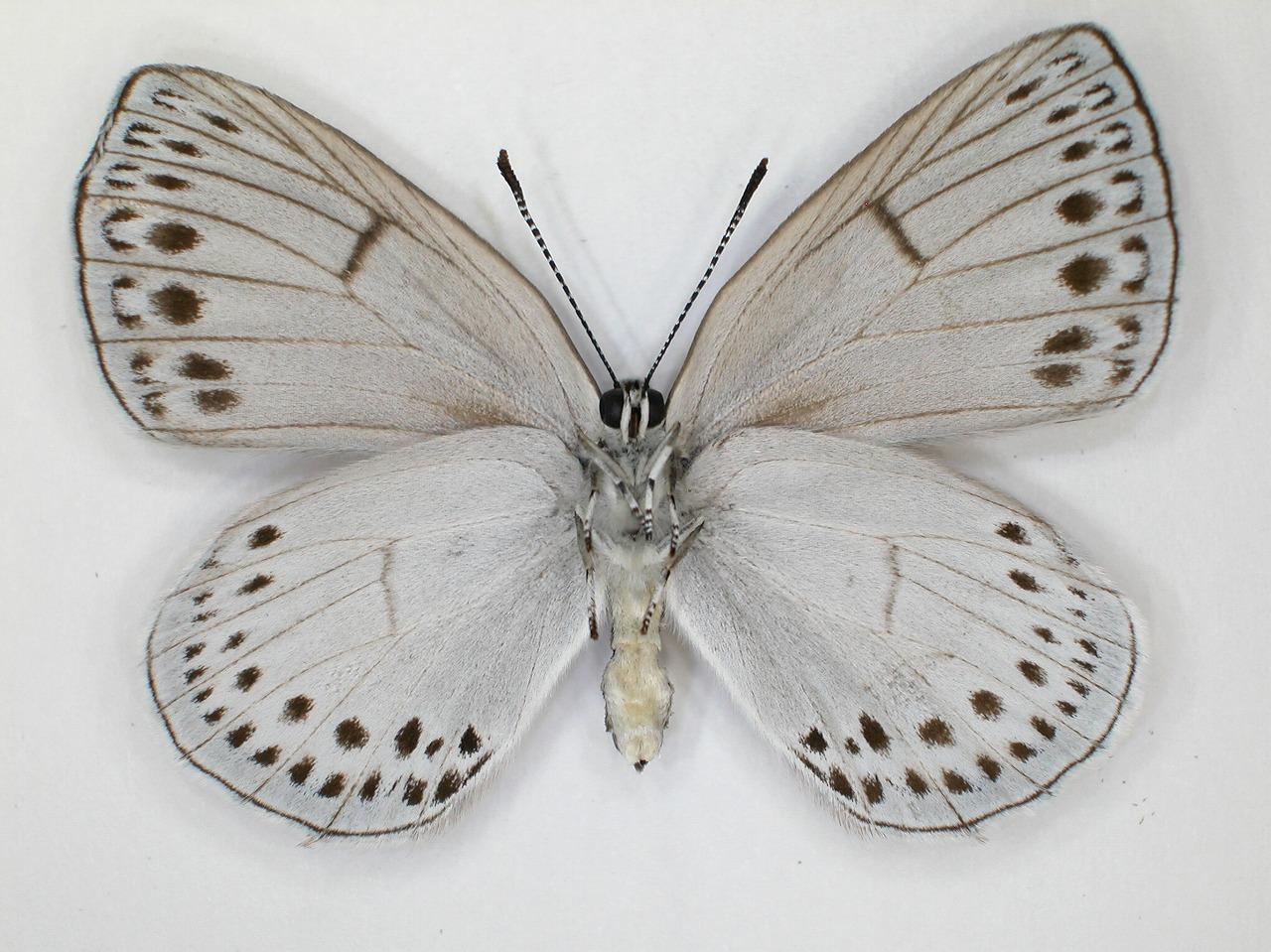https://www.hitohaku.jp/material/l-material/butterfly-wing/5-lycaenidae/B1-637834_B.jpg