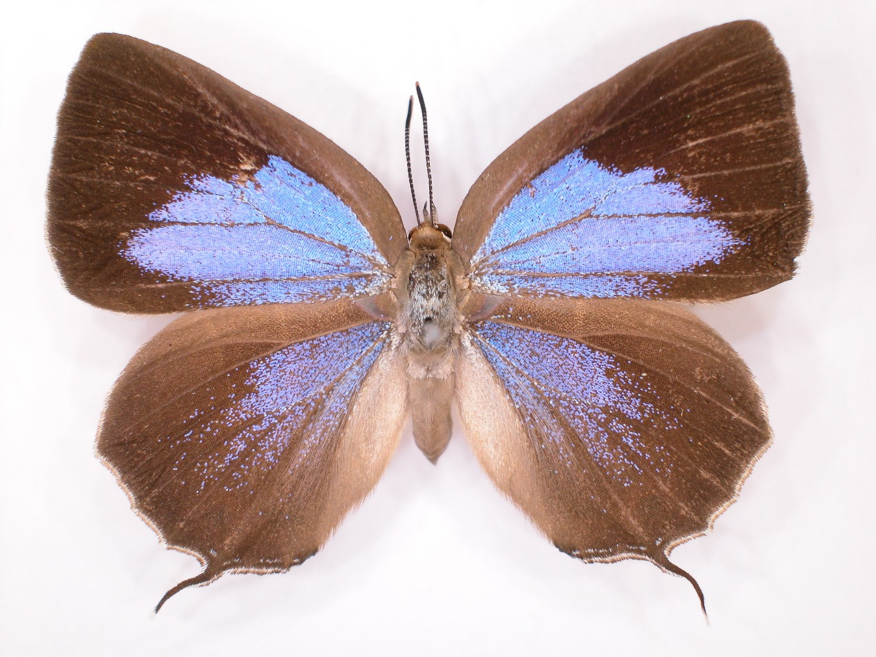 https://www.hitohaku.jp/material/l-material/butterfly-wing/5-lycaenidae/B1-638195_A.jpg