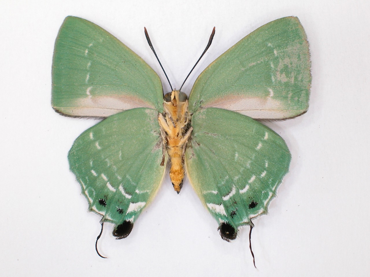 https://www.hitohaku.jp/material/l-material/butterfly-wing/5-lycaenidae/B1-638300_B.jpg