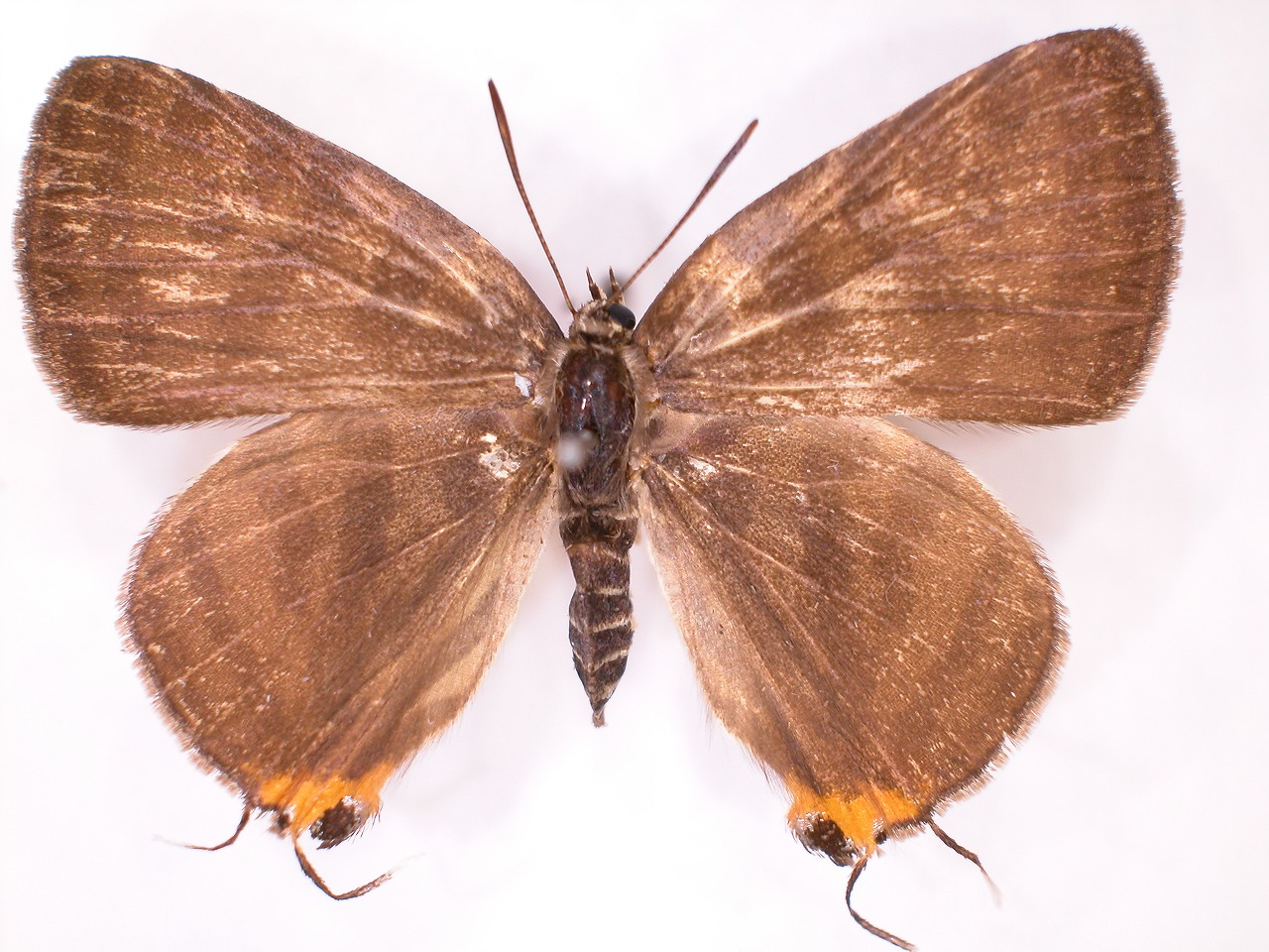 https://www.hitohaku.jp/material/l-material/butterfly-wing/5-lycaenidae/B1-638338_A.jpg