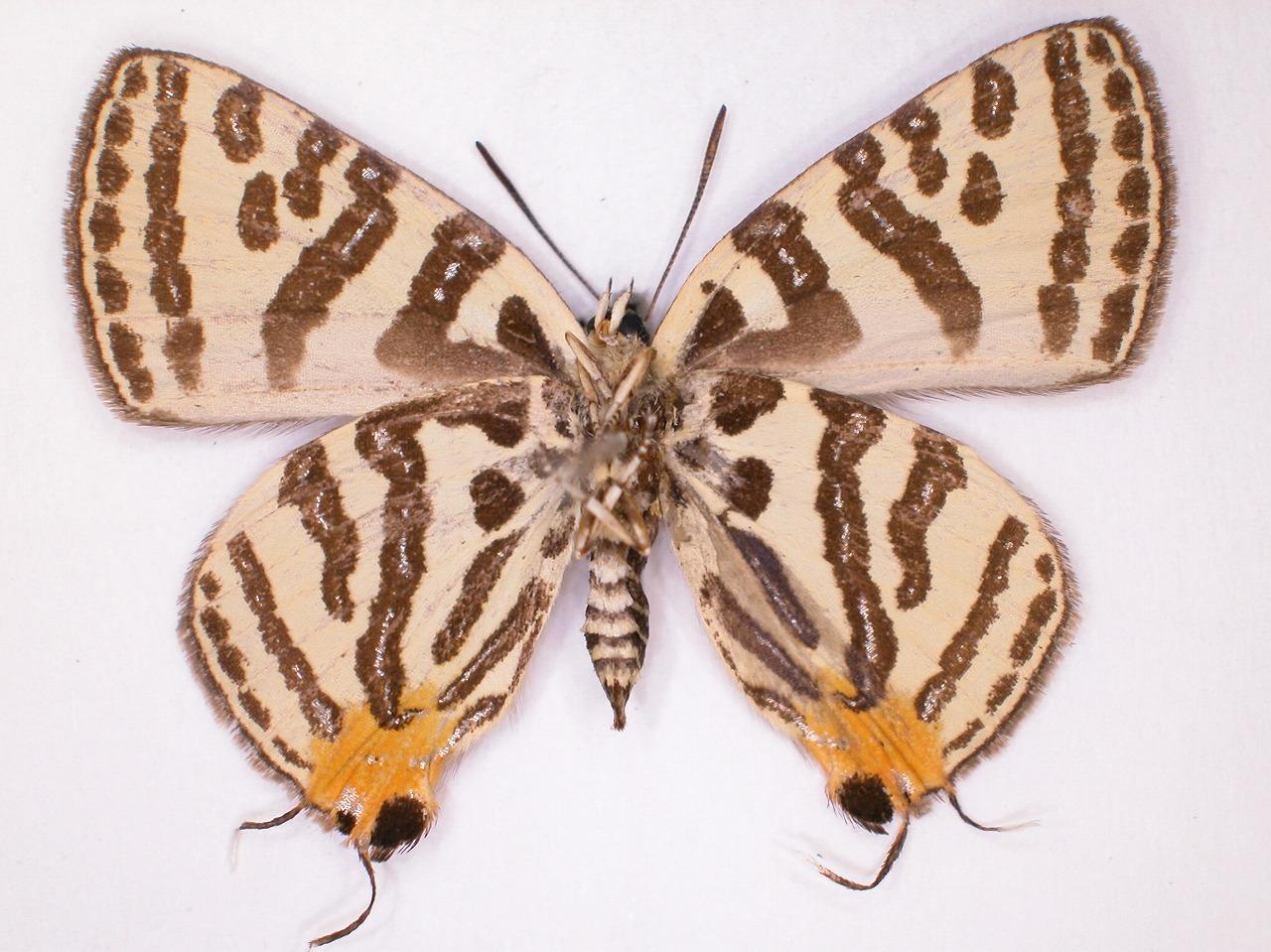 https://www.hitohaku.jp/material/l-material/butterfly-wing/5-lycaenidae/B1-638338_B.jpg