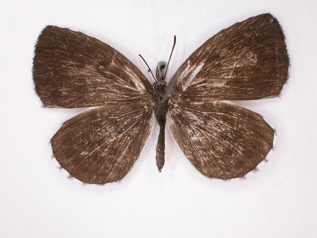 https://www.hitohaku.jp/material/l-material/butterfly-wing/5-lycaenidae/B1-638437_A.jpg