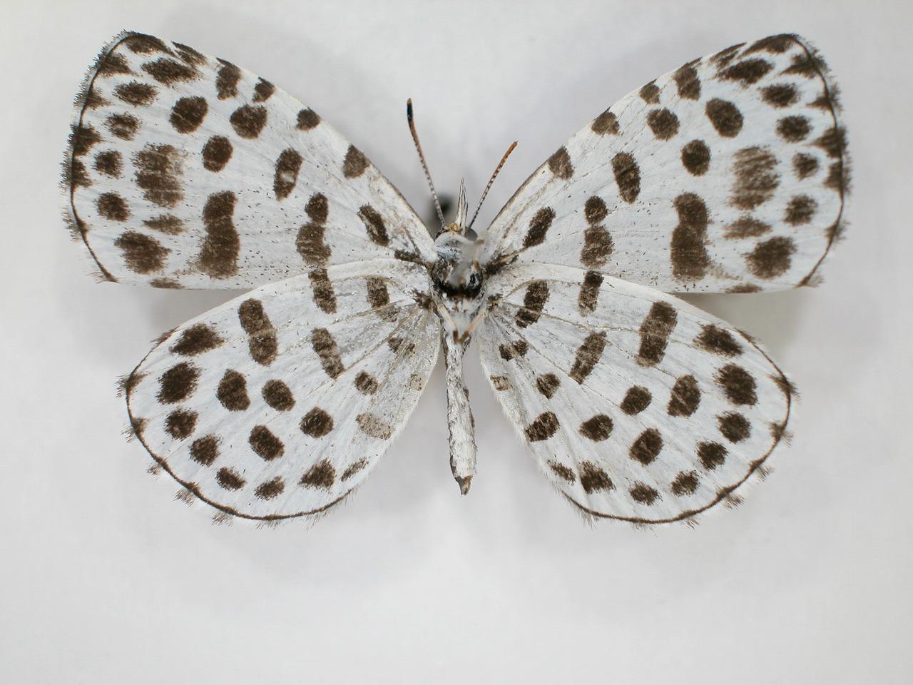 https://www.hitohaku.jp/material/l-material/butterfly-wing/5-lycaenidae/B1-638437_B.jpg