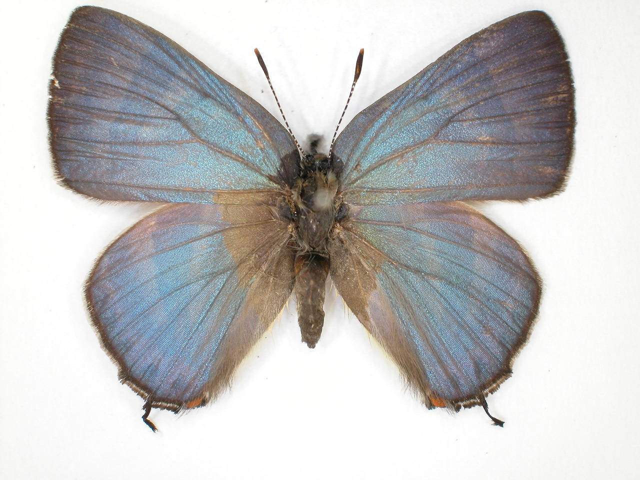 https://www.hitohaku.jp/material/l-material/butterfly-wing/5-lycaenidae/B1-638542_A.jpg