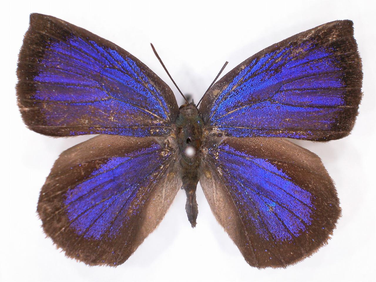 https://www.hitohaku.jp/material/l-material/butterfly-wing/5-lycaenidae/B1-638585_A.jpg