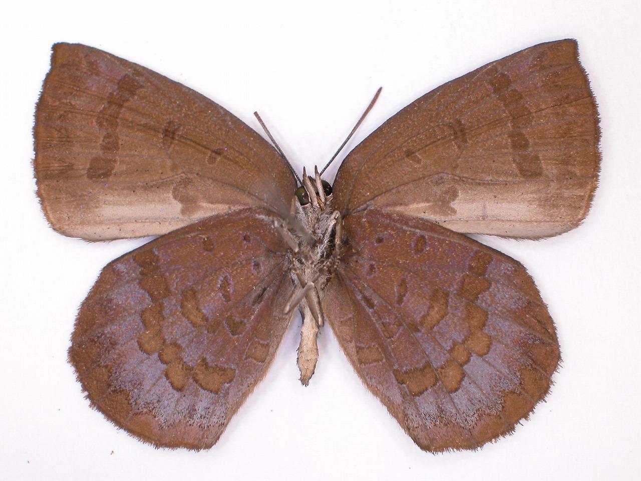 https://www.hitohaku.jp/material/l-material/butterfly-wing/5-lycaenidae/B1-638585_B.jpg