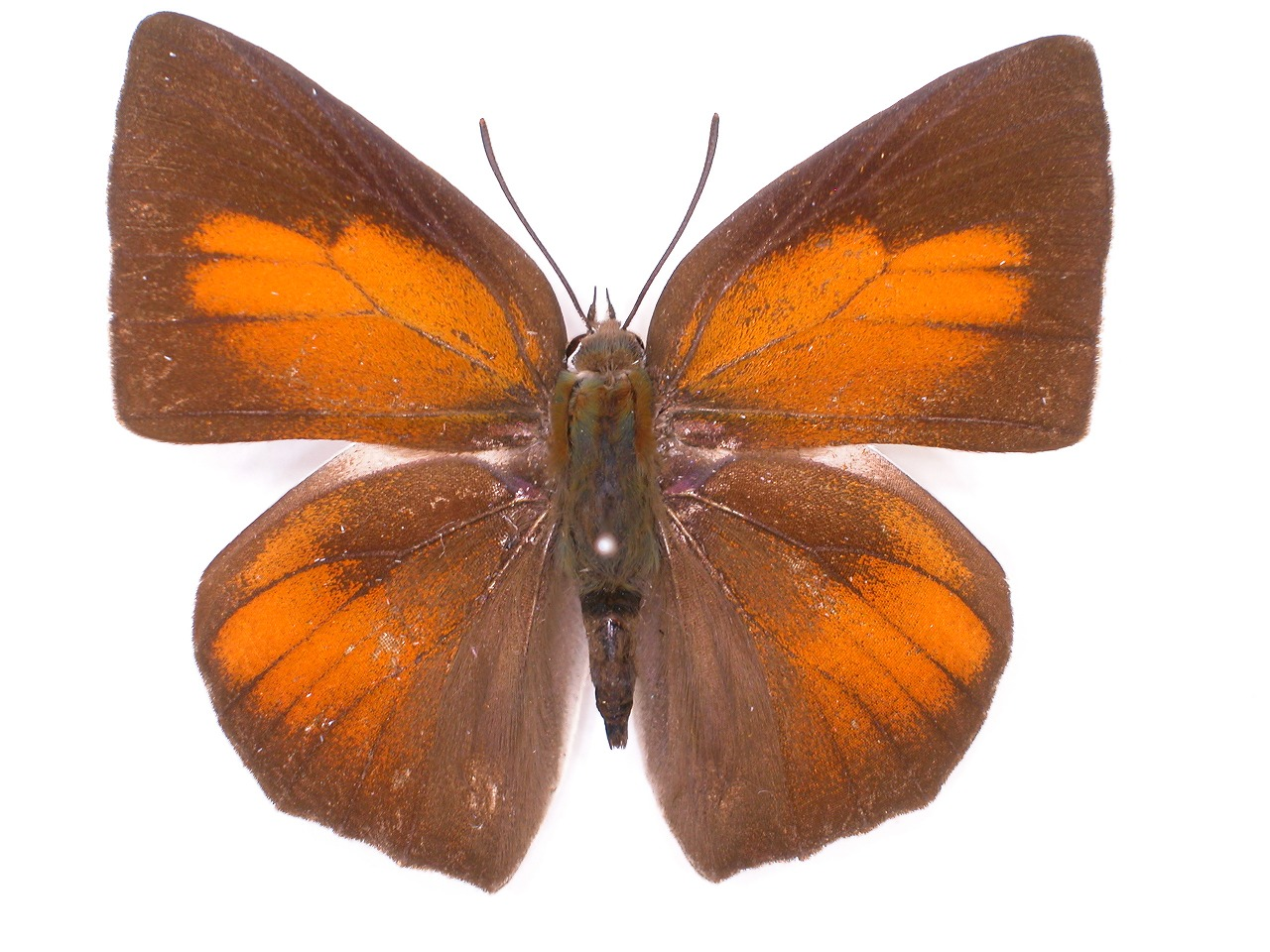 https://www.hitohaku.jp/material/l-material/butterfly-wing/5-lycaenidae/B1-638836_A.jpg